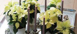 Gwiazda betlejemska – jeden z najpiękniejszych świątecznych prezentów