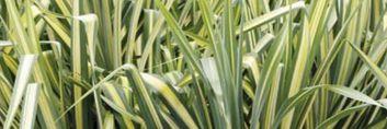 Barwne trawy ozdobne