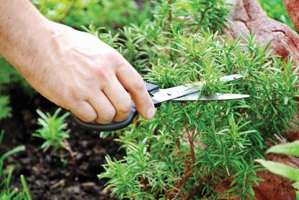 uprawa ziół w ogrodzie