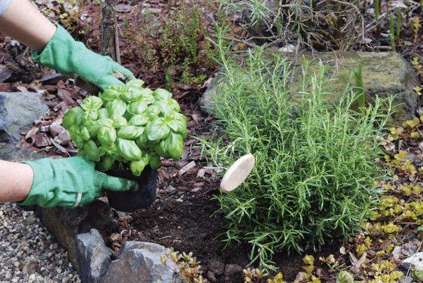 rozmaryn w ogrodzie